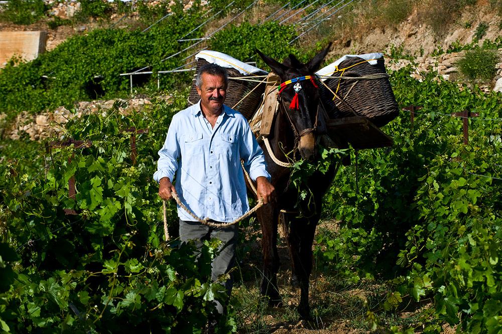 Manalis Winery Harvest